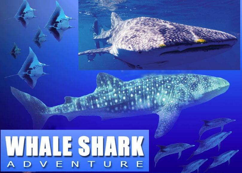 Whale Shark swim adventure at caribbean sea mexican coast