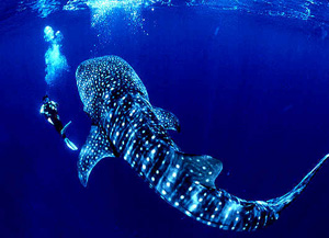 Whale Shark in the Riviera Maya