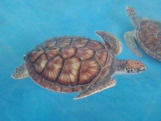 Akumal Sea Turtle refuge The Place of Turtles
