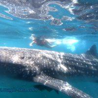 whale shark snorkel