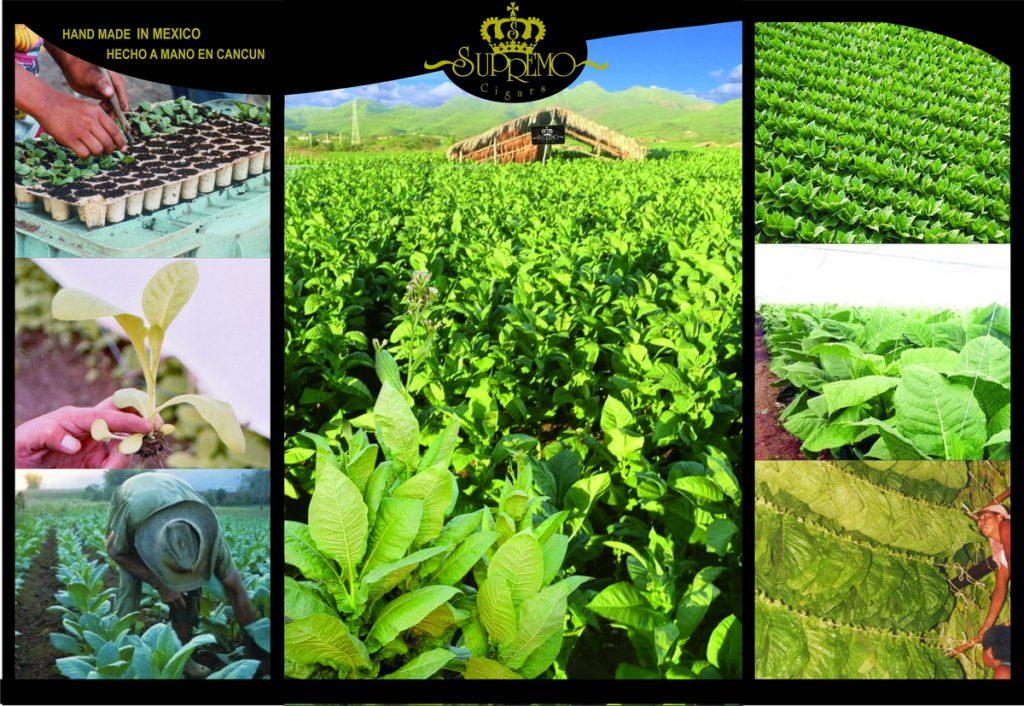 plantation tobacco