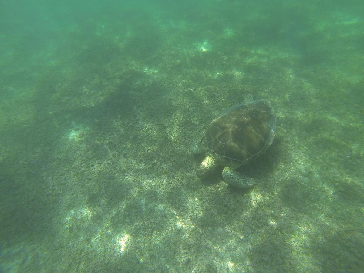 Akumal Turtles